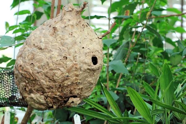 "alt=""a large Paper Wasp Nest that CJB Pest Control removed"