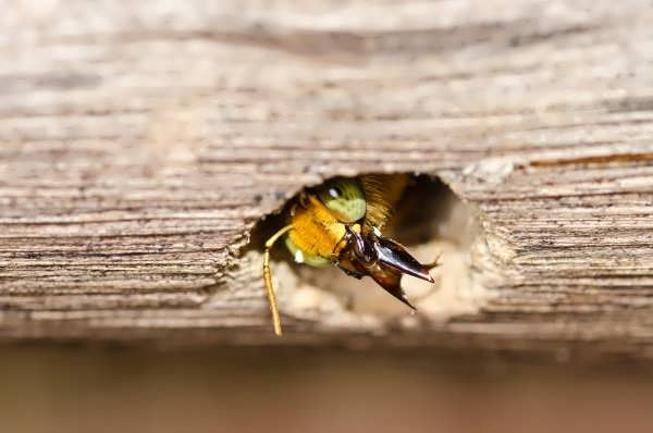 carpenter bee working