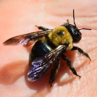 carpenter bee exrmination