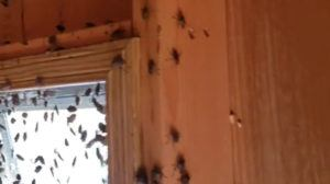 stink bugs in house