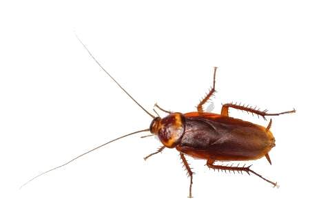 "alt=""Top roach exterminator target, American Cockroach Found in Michigan on white background"""