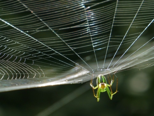 "alt=""Orchard Orbweaver Spider on the web, photo taken in Michigan"""