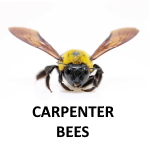 "alt="" a carpenter bee on a transparent background to illustrate cjb's carpenter bee removal service."""