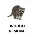 "alt="" a raccoon on a white background part of the Wildlife Removal program at cjb pest"""